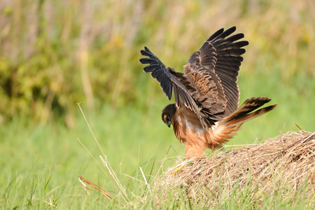 Juvenile Montagus harrier (Circus pygargus) flapping wings at the meadow. Kaluga region, Russia