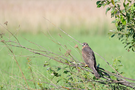 Perching juvenile Montagus harrier (Circus pygargus) at the meadow. Kaluga region, Russia