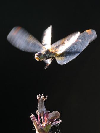 sympetrum: Flying dragonfly Vagrant darter (Sympetrum vulgatum). Kaluga region, Russia