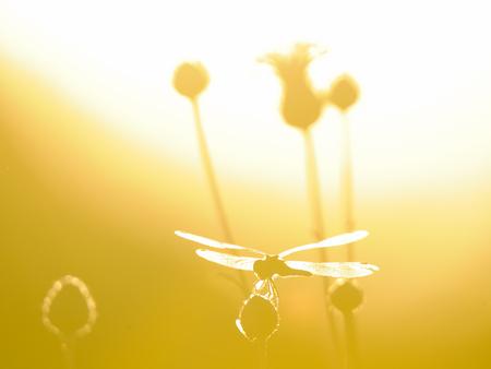 sympetrum: Perching dragonfly Vagrant darter (Sympetrum vulgatum). Kaluga region, Russia Stock Photo