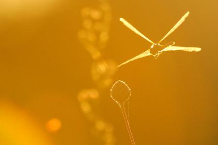 Flying dragonfly Vagrant darter (Sympetrum vulgatum). Kaluga region, Russia