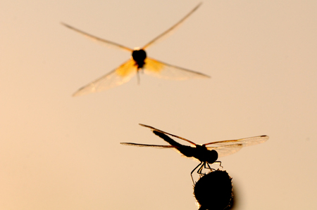 sympetrum: Flying and sitting dragonflies Vagrant darter (Sympetrum vulgatum). Kaluga region, Russia Stock Photo