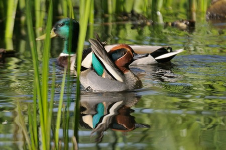 drakes: Common Teal (Anas crecca) and Mallard (Anas platyrhynchos) drakes among reeds. Moscow region, Russia