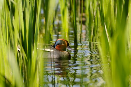 dabbling duck: Common Teal (Anas crecca) drake among reeds. Moscow region, Russia