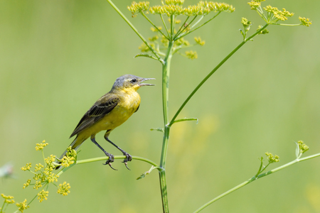 wagtail: Perching male Yellow wagtail (Motacilla flava) at summer meadow. Near Moscow, Russia Stock Photo