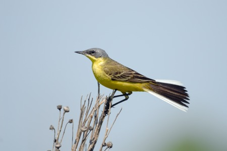 perching: Perching male Yellow wagtail (Motacilla flava) at summer meadow. Near Moscow, Russia Stock Photo