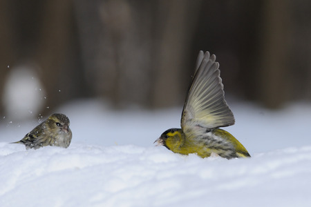 snowdrifts: Flapping wings male Siskin (Carduelis spinus) in snow near female. Moscow region, Russia