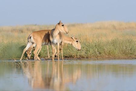 wildlife preserve: Saiga antelopes (Saiga tatarica) near the watering place in the morning. Federal nature reserve Mekletinskii, Kalmykia, Russia, August, 2015