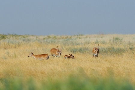 russia steppe: Critically endangered wild Saiga antelopes (Saiga tatarica) in morning steppe. Federal nature reserve Mekletinskii, Kalmykia, Russia, August, 2015 Stock Photo