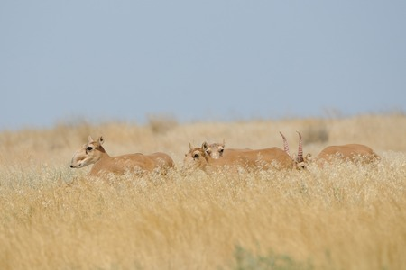 russia steppe: Critically endangered wild Saiga antelopes (Saiga tatarica) in steppe. Federal nature reserve Mekletinskii, Kalmykia, Russia, August, 2015