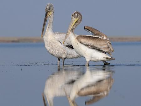 pelecanus: Dalmatian Pelicans (Pelecanus crispus) at Manych lake. Kalmykia, Russia Stock Photo