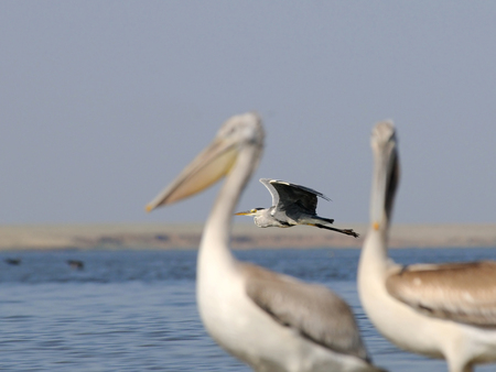 pelecanus: Grey Heron (Ardea cinerea) between Dalmatian Pelicans (Pelecanus crispus) at Manych lake. Kalmykia, Russia