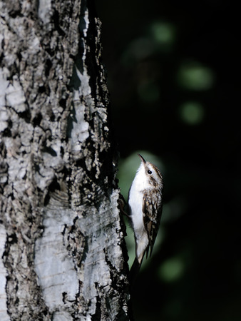 familiaris: Eurasian or common treecreeper (Certhia familiaris) climbs up the birch trunk. Moscow region, Russia Stock Photo