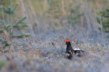 grouse: Male Black Grouse (Tetrao tetrix) at swamp courting place early in the morning. National park Plesheevo Lake, Yaroslavl region, Russia Stock Photo