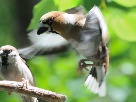 passer by: Flying Hawfinch (Coccothraustes coccothraustes) and perching Tree Sparrow (Passer montanus) in summer. Moscow region, Russia Stock Photo