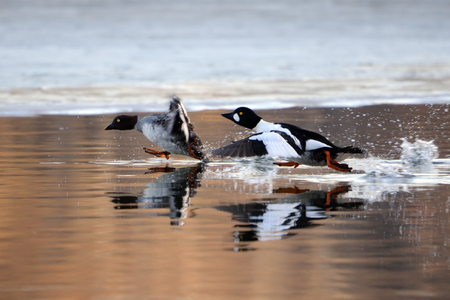 Running couple of Common goldeneyes (Bucephala clangula) reflected in pond water surface. Moscow region, Russia Stock Photo