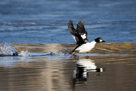 edge of the ice: Common goldeneye (Bucephala clangula) drake running along ice edge in pond in spring. Moscow region, Russia