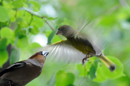 greenfinch: Perching Hawfinch (Coccothraustes coccothraustes) and flying Greenfinch (Chloris chloris) at green leaves background Stock Photo