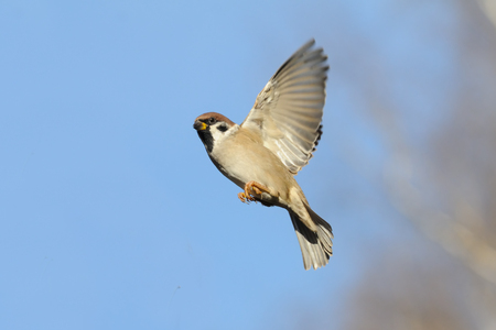Flying Eurasian Tree Sparrow (Passer montanus) in autumn. Moscow region, Russia Stock Photo