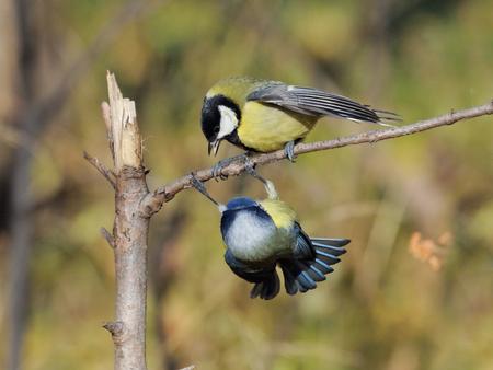 Great Tit (Parus major) and Blue Tit (Parus caeruleus) conflicting in autumn
