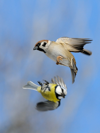 swift: Flying Eurasian Tree Sparrow (Passer montanus) and Blue Tit (Parus caeruleus) in autumn. Moscow region, Russia