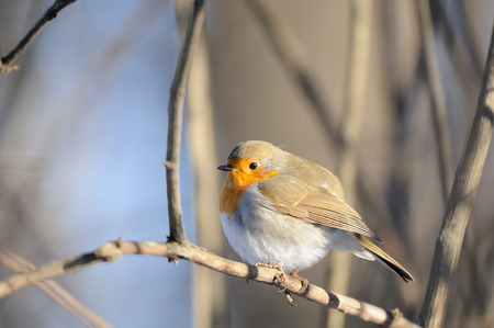 erithacus rubecula: Perching European Robin (Erithacus rubecula) in winter. Moscow, Russia Stock Photo