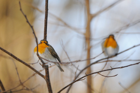 erithacus rubecula: Two perching European Robins (Erithacus rubecula) in winter. Moscow, Russia Stock Photo