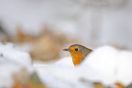 erithacus rubecula: European Robin (Erithacus rubecula) among dry leaves in the snow. Moscow, Russia