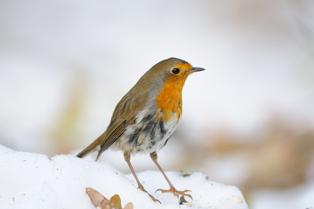 erithacus rubecula: European Robin (Erithacus rubecula) in the snow. Moscow, Russia Stock Photo