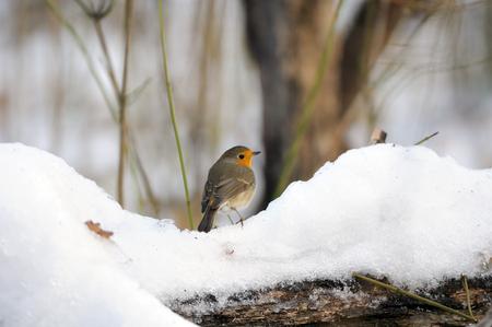 erithacus rubecula: European Robin (Erithacus rubecula) in the snowy park. Moscow, Russia