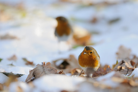 erithacus rubecula: Two European Robins (Erithacus rubecula) among dry leaves in the snow. Moscow, Russia