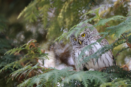 Perching Pygmy Owl (Glaucidium passerinum) at thuja tree. Moscow, Russia