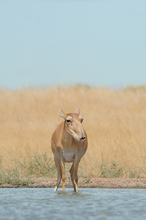 Wild female Saiga antelope (Saiga tatarica) at the watering place in the steppe. Federal nature reserve Mekletinskii, Kalmykia, Russia, August, 2015 Stock Photo