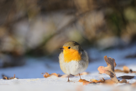 erithacus rubecula: European Robin (Erithacus rubecula) wintering in city park. Moscow, Russia Stock Photo
