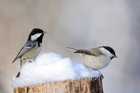 Coal tit (Periparus ater, Parus ater) and Willow tit (Poecile montanus) in snow at sunny winter day. Kaluga region, Russia