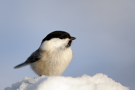 Perching Willow tit (Poecile montanus) in snow at sunny winter day. Kaluga region, Russia