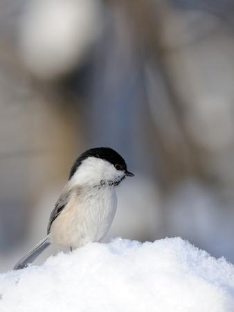맑은 겨울 날 눈에 버드 나무 가슴 (Poecile montanus)를 perching. 칼루가 지역, 러시아