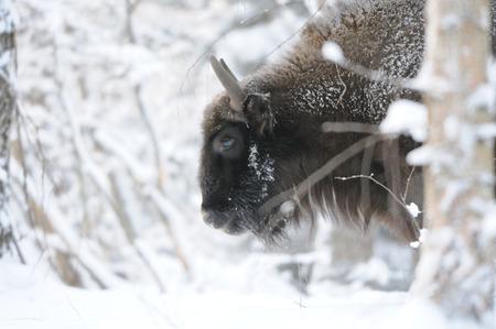 유럽 들소 (Wisent, 들소 bonasus) 겨울 숲에서. 국립 공원 우 그라, Kaluga 지역, 러시아. 2016 년 12 월