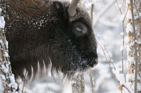 European bison (Wisent, Bison bonasus) in winter forest. National park Ugra, Kaluga region, Russia. December, 2016