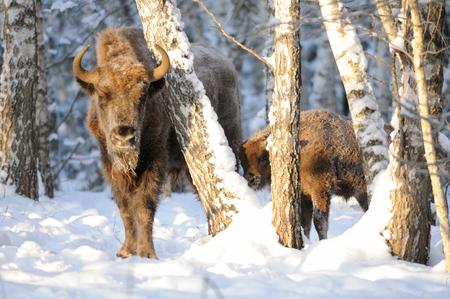 성인과 아기 유럽 bisons (Wisent, 들소 bonasus) 겨울 숲에서. 국립 공원 우 그라, Kaluga 지역, 러시아. 2016 년 12 월
