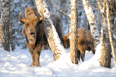 Adult and baby European bisons (Wisent, Bison bonasus) in winter forest. National park Ugra, Kaluga region, Russia. December, 2016 Stock Photo