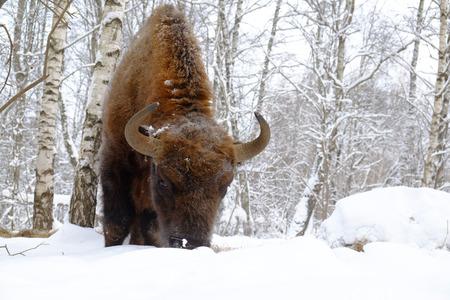 European bison (Wisent, Bison bonasus) in winter forest. National park Ugra, Kaluga region, Russia. January, 2017 Stock Photo