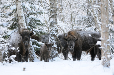 European bison family (Wisent, Bison bonasus) in winter forest. National park Ugra, Kaluga region, Russia. December, 2016