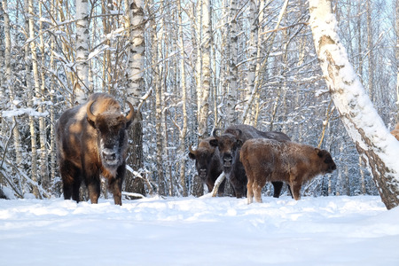European bisons (Wisent, Bison bonasus) in winter forest. National park Ugra, Kaluga region, Russia. December, 2016