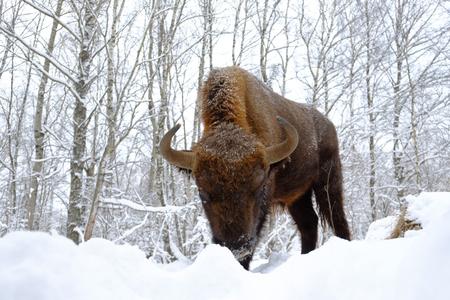 겨울 숲에서 폭행 유럽 들소 (Wisent, 들소 bonasus). 국립 공원 우 그라, Kaluga 지역, 러시아. 2017 년 1 월 스톡 콘텐츠