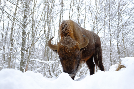 Assault European bison (Wisent, Bison bonasus) in winter forest. National park Ugra, Kaluga region, Russia. January, 2017 Stock Photo