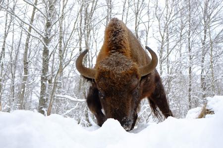 겨울 숲에서 폭행 유럽 들소 (Wisent, 들소 bonasus). 국립 공원 우 그라, Kaluga 지역, 러시아. 2017 년 1 월