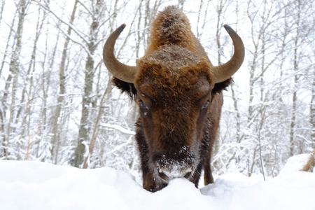 전면 겨울 숲에서 유럽 들소 (Wisent, 들소 bonasus)의보기를 닫습니다. 국립 공원 우 그라, Kaluga 지역, 러시아. 2017 년 1 월 스톡 콘텐츠