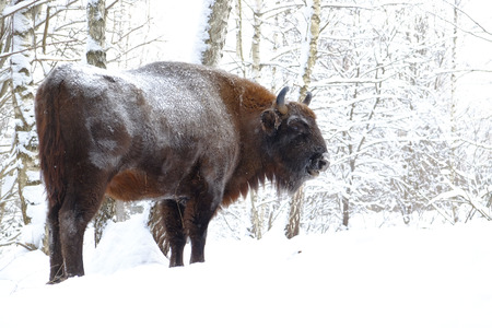 European bison (Wisent, Bison bonasus) in winter forest. National park Ugra, Kaluga region, Russia. January, 2017 Stock Photo