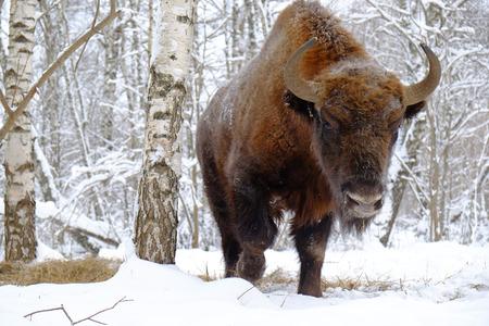 유럽 들소 (Wisent, 들소 bonasus) 겨울 숲에서. 국립 공원 우 그라, Kaluga 지역, 러시아. 2017 년 1 월